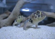 蛙眼守宫图片