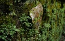 台湾阿里山森林公园苔藓图片