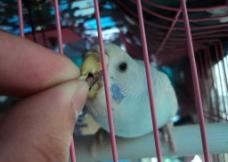 虎皮鹦鹉 蓝色图片