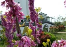 紫荆花 紫荆花瓣图片