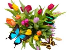 蝴蝶郁金香图片