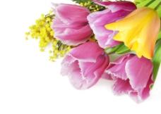 一束粉色黄色郁金香图片