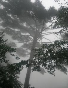 黄山古松树图片