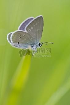 灰色白蛾在绿色草地上栖息
