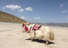 西藏 牦牛图片