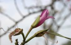 紫荆花蕊图片