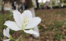 白色紫荆花图片