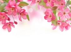 海棠花背景图
