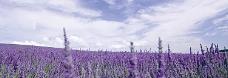 薰衣草背景