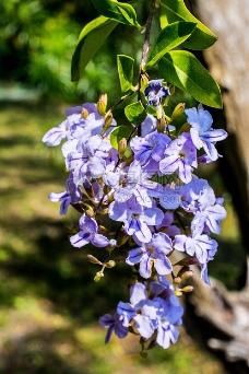 盛开的小蓝花