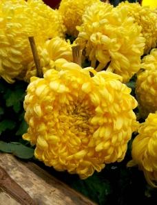 大黄色万寿菊图片