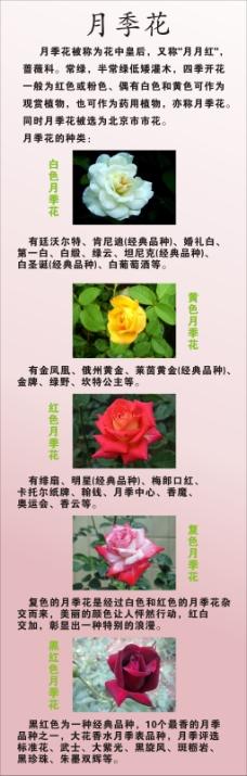 花中皇后月季花