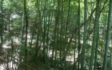 黄山竹林图片