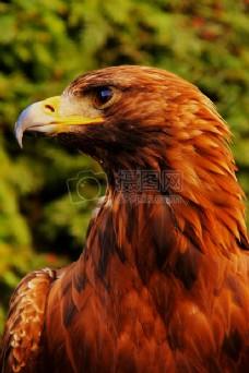 注目凝视的老鹰