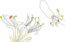 金银花 矢量图片