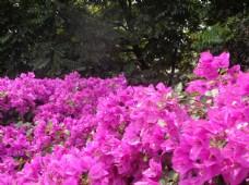 三角梅 花 红花图片