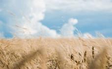 秋天麦子背景图