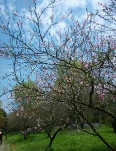 满园桃花盛开图片