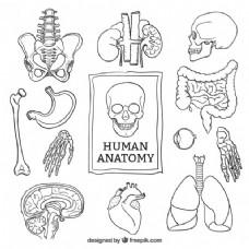 粗略的人体解剖学