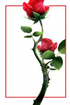 玫瑰花朵三八妇女节海报背景设计