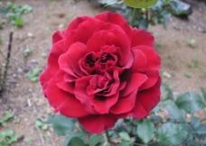 红色花图片