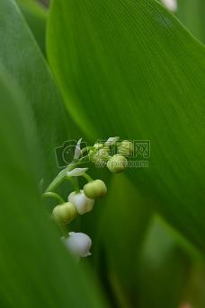 盛开的铃兰花