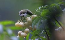 鸡皮果与黄腹花蜜鸟图片