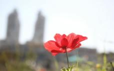 唯美罂粟花图片
