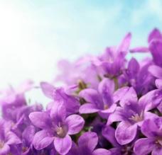 唯美紫花图片