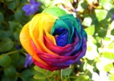 七彩玫瑰花图片