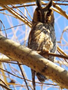 树枝上的猫头鹰