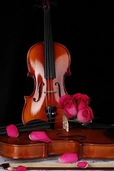 小提琴 玫瑰花特写图片