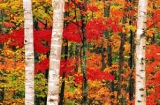 枫树林美丽风景图片