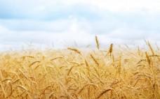 麦浪稻穗麦田风景背景图淘宝网页背景图片
