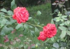 雨露月季花图片