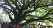 古老的榕树图片