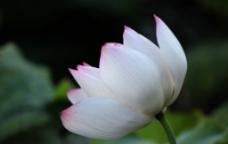 西湖莲花图片