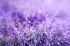 紫色梦幻花草图片