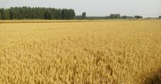成熟的麦子图片