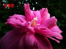 木槿花炫彩万花筒