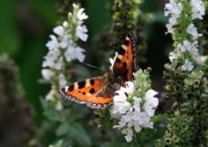 蝴蝶 花图片