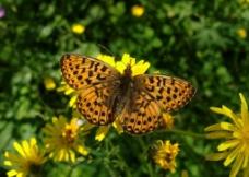菊花 蝴蝶图片