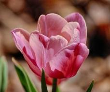 郁金香 粉红图片