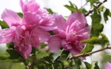 木槿花花图片