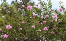 木槿花图片