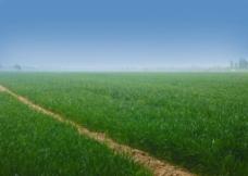 蓝天下的麦田图片