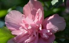 重瓣木槿花图片