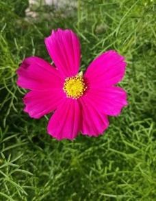 粉红色的格桑花图片