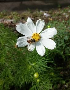 白色格桑花和小蜜蜂图片