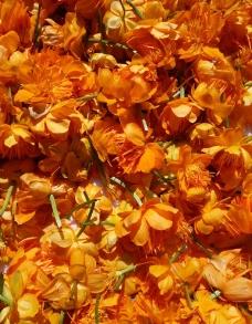 金莲花 晾晒图片